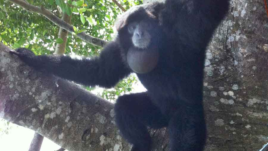 animal_siamang