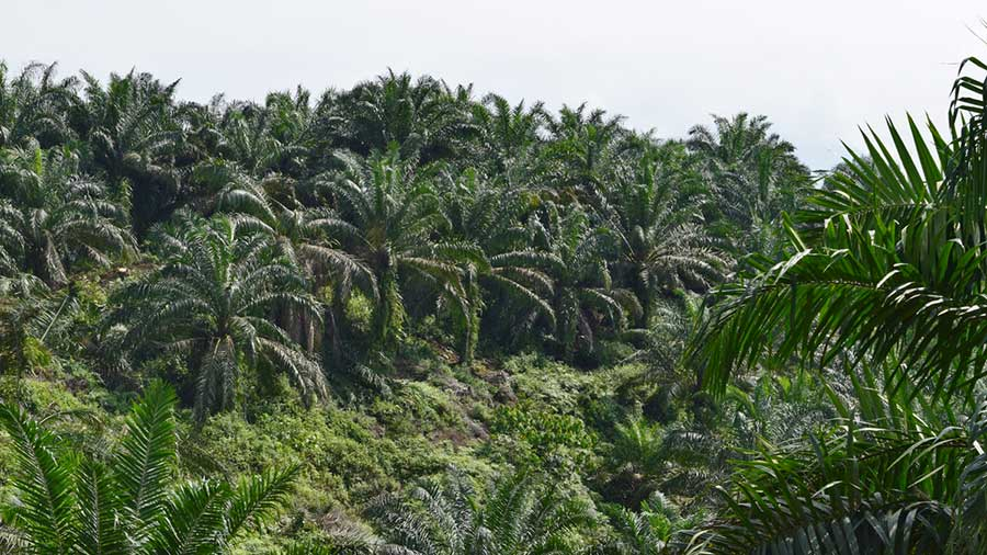 reforestation_oilpalm1